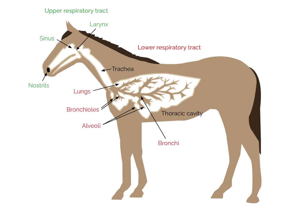 Equine Airway Anatomy