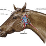 Equine Guttural Pouch Infections