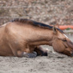 Vet Practice: Managing Horses With Colic in the Field