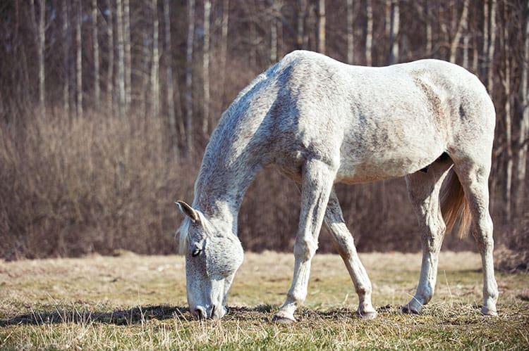 Study: Fecal Transplants Improve Old Horse Gut Health