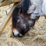 Study: Straw-Hay Mix Helps Ponies Lose Weight Safely