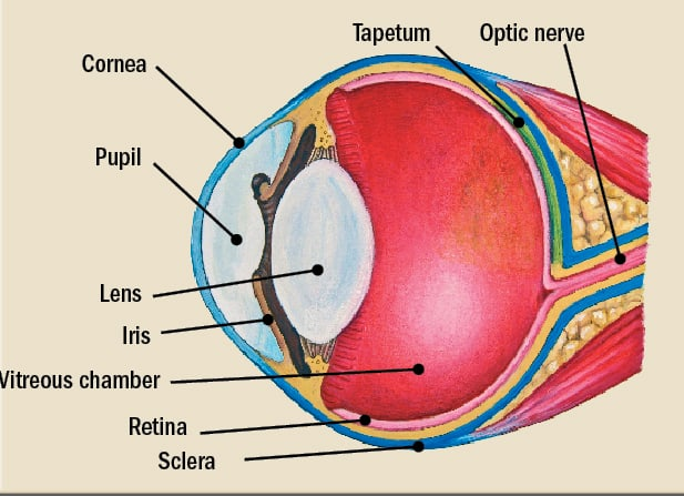 Basic Equine Eye Anatomy