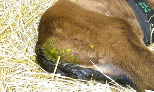 Using Dogs and DNA to Diagnose Diarrhea in Foals