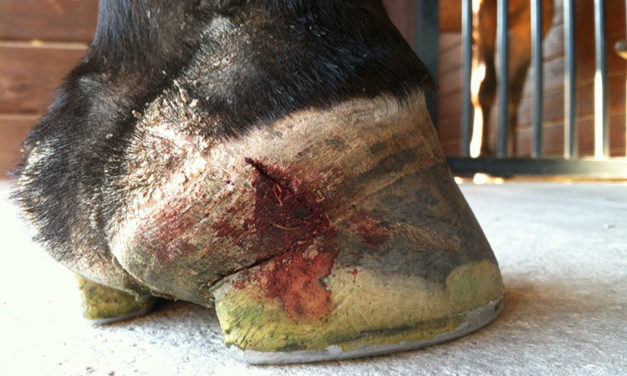 Quarter Cracks in Horses: Causes and Treatment Approaches