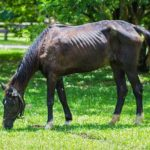 Starved Horses: Each Body Score Improves Survival by 1,500%