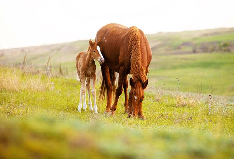 Is Your Broodmare a Candidate for a Foal-Heat Pregnancy?