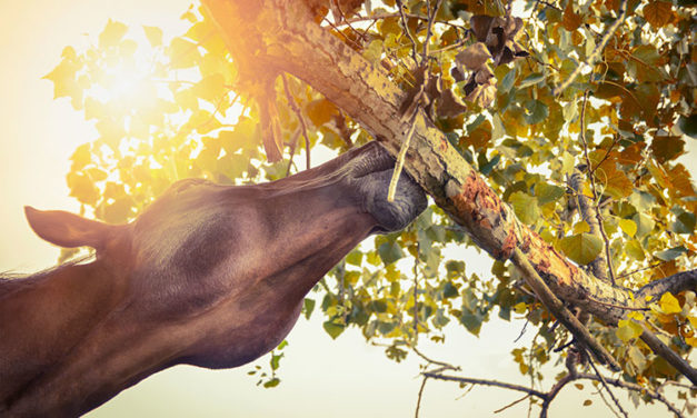 Tree-Eaters: Why Horses Chew Trees and What To Do About It