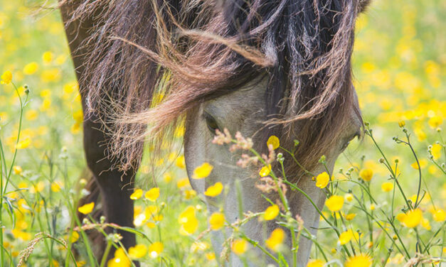 Equine Safety and Yellow Buttercups