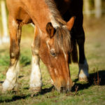 Study: Age Predicts Subclinical Laminitis in Horses