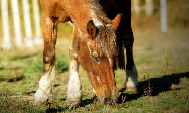 Chronic Pain Management in the Geriatric Horse