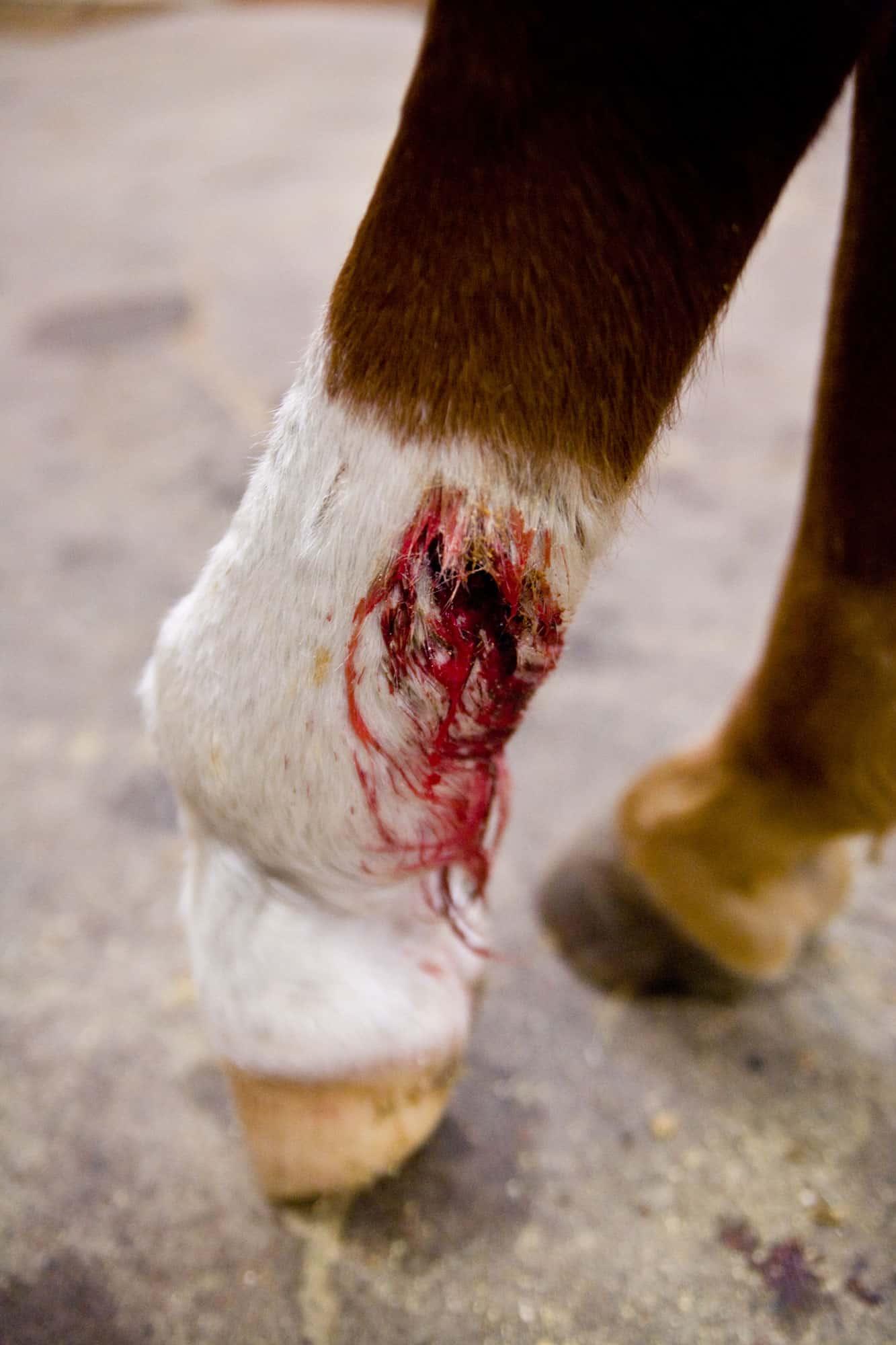 Fresh Horse Leg Wound