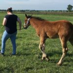 Can Moderate Exercise Build Better Bones in Baby Horses?