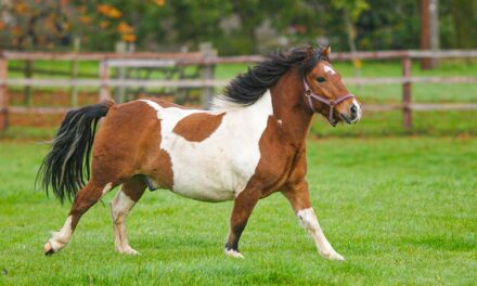 Researchers Study Blood Test to Find Laminitis-Prone Horses