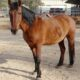 ALLIE:  Dark Brown Dun Mustang Mare – Non-Riding Companion Only