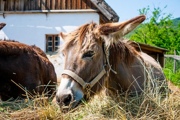 What Type of Forage Should You Feed Donkeys?
