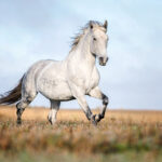 Study: Gray Horse Gene Has 'Surprising' Mutation Pattern