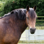 Individualized Diets Help Horses With EMS-Induced Laminitis