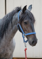 BLUE:  Blue Roan Mustang Gelding – Limited/Non-Riding