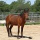 DIESEL:  Bay Mustang Gelding – Non-Riding Companion Only